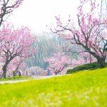 平岡公園梅まつり、行く前チェックと楽しみ方(体験談)