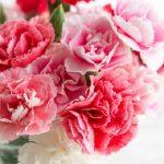 カーネーションの花言葉、色や本数にも意味があった!さて母の日は?