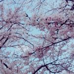 札幌でお花見、桜のトンネルをお散歩できる白石こころーどは究極の穴場!