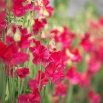 春になると赤いスイートピーはホントに線路の脇に咲くの?