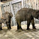 円山動物園、新ゾウ舎オープンで12年ぶりにゾウが一般公開!