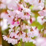 札幌月寒公園、実はしだれ桜や藤棚がみごとな桜の名所だった!